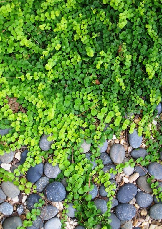 If you're tired of your regular grass lawn, these gorgeous creeping plants are great alternatives. They are an excellent substitute for a grass lawn, while some of them are suitable for rock gardens and poor-soil landscapes. They are even a great solution for badly built garden paths, because they easily fill the cracks. What's more, they are mostly low-maintenance plants and they bear up to heavy foot traffic! Check out these gorgeous stepable groundcovers that will make a wonderful ...