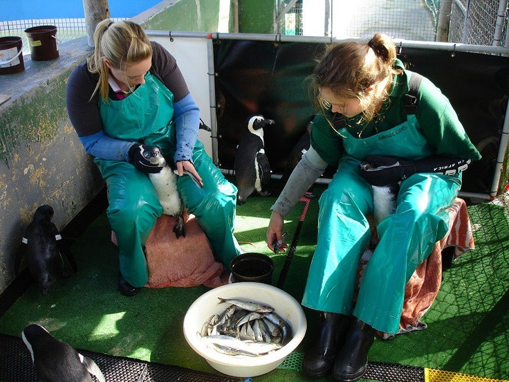 As well as learning about the life-cycle and conservation of the African Penguin, you will also be very 'hands-on' as you are taught how to catch, hold, feed and tube fee a variety of seabirds.