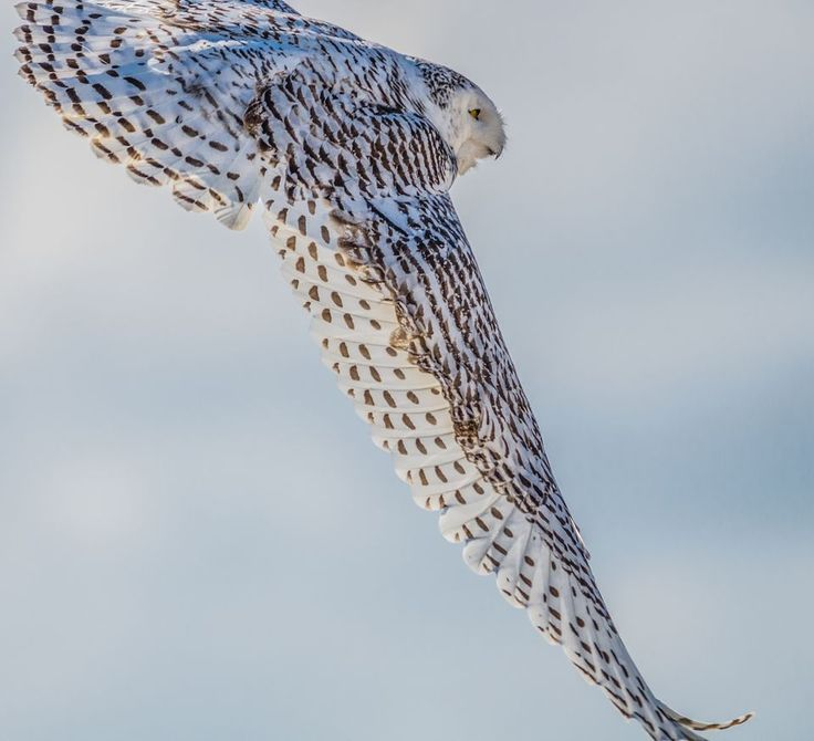 Snowy Owls, Snowy Owl Pictures, Snowy Owl Facts - National Geographic