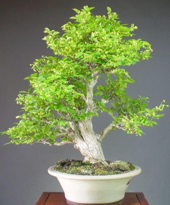 JPB: bonsai collection:ニシキギ/錦木