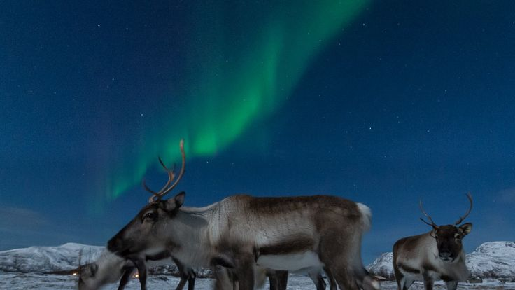Reindeer in Norway under the northern light, photo Harald Albrigtsen. Ved hjelp av ny teknologi har Harald Albrigtsen filmet vill nordnorsk natur på sitt beste.
