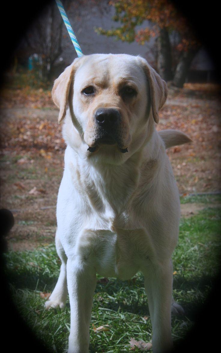 Yellow Labrador 17 months HERO 52 best