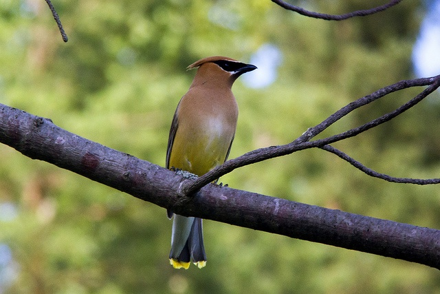 Cedar Waxwing by James Birkbeck, via FlickrJames Of Arci, James Birkbeck