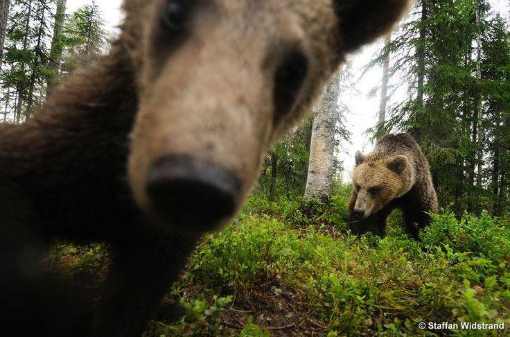 """Photo enthusiast bears"" in Suomussalmi, Kainuu, photo by Staffan Widstrand, 2008."