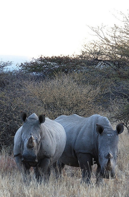 Rhinos. The horn of a rhinoceros is made from compacted hair.