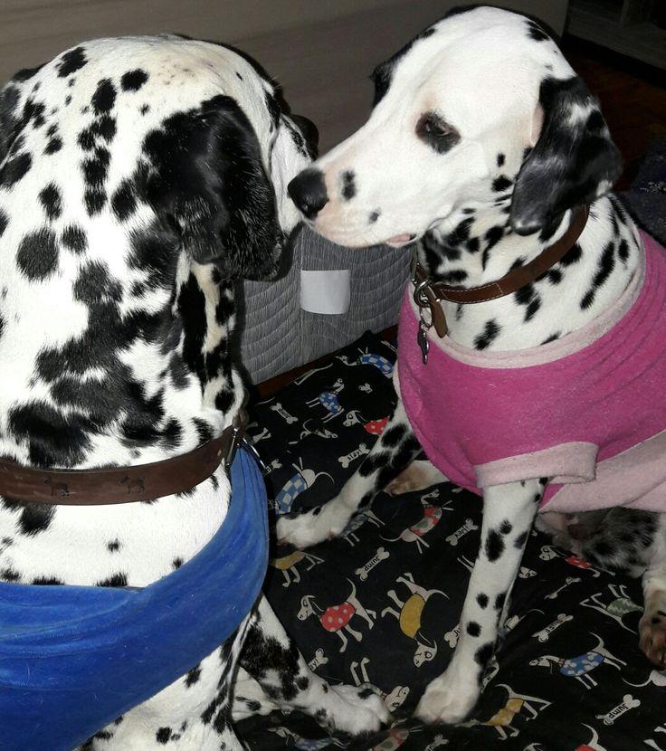 Meu irmãozão ❤  #dalmatian #doglover #dogstyle #dalmata #dog #pet