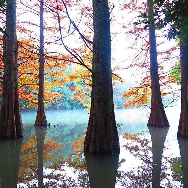 【takehiro.f】さんのInstagramをピンしています。 《秋の落羽松〜九大の森 vol:4〜 再び 九大の森へ。 朝7時。冷え込んだ池は朝靄で霞んで、 落羽松の紅葉も一段と進んで幻想的だった。 水筒に入れたホットコーヒーでメガネが曇って 幻想的な世界が一段と増したのは計算外だった(笑) Again to the forest of Kyushu University. It's seven in the morning. The cold pond was fantastic with morning mist. #九大の森 #森 #九州 #福岡 #篠栗 #japan #fukuoka #forest #秋 #落羽松 #ラクウショウ #ヌマスギ #Taxodiumdistichum #autumn #朝靄 #morninghaze》