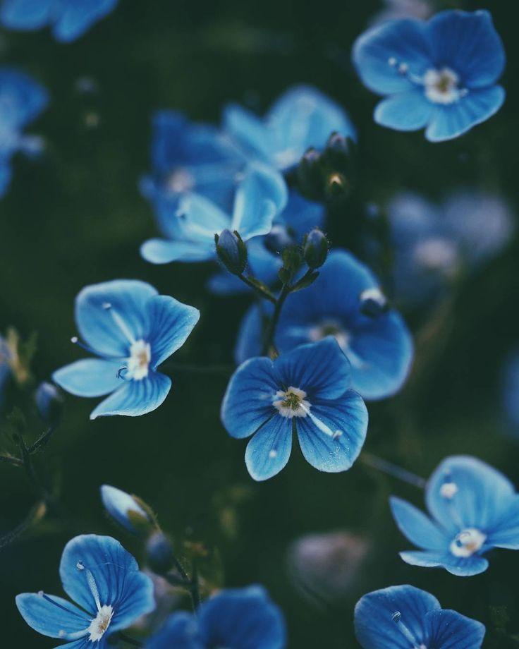 @forest.of.birch Instagram #blue #flower #blueflower #nature #green #focus