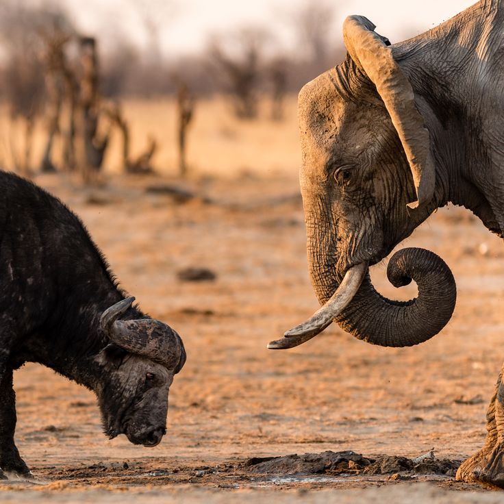 A face-off between an African buffalo and an elephant at a waterhole in Hwange National Park, Zimbabwe ©Dominik Behr