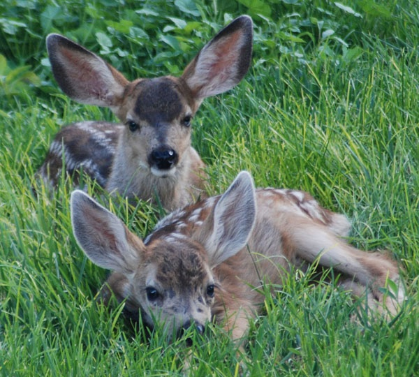 orphaned mule deer fawns