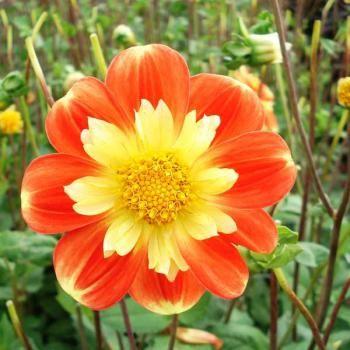 Le Dahlia collerette pooh, de grandes fleurs jaune à la collerette rouge et jaune. #jardin #plante #fleur #jaune #jardinjaune #blackgarden #jaune #garden #promessedefleurs #vitamine #coloré #couleurs #couleurschaudes