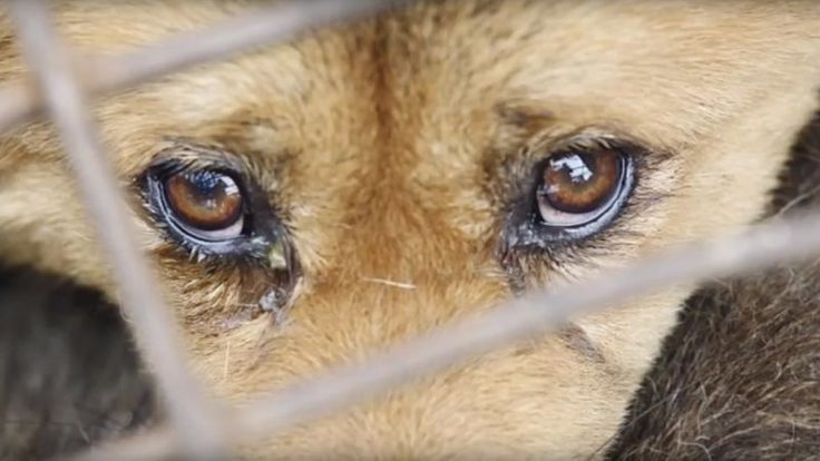 STOP ANIMAL CRUELTY IN CHINA     FACT:  China currently has  no laws preventing cruelty to animals .    FACT:   China  has drafted legislation  (Prevention of Cruelty to Animals Law of the Peoples Republic of China) that would criminalize acts of cruelty towards animals.    FACT:  The 2009 draft (...