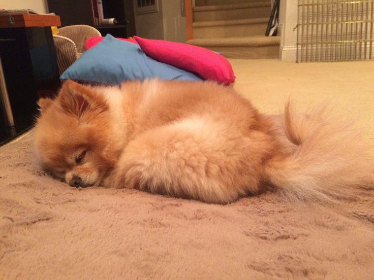 Tired boy #pomeranian #pomlife