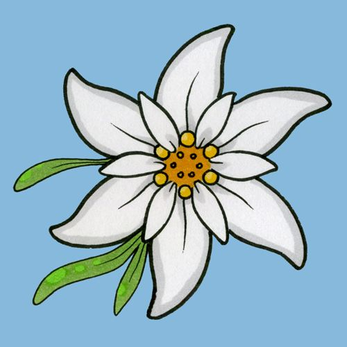 Gallery For > Edelweiss Flower Sketch