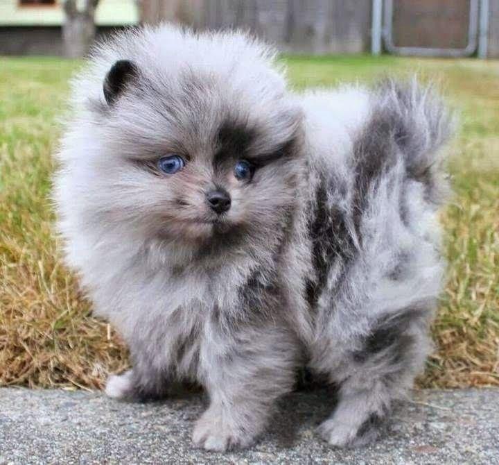 12 Reasons Why No One Should Ever Have Pomeranians - http://cuudulieutransang.wix.com/trangchu#!12-Reasons-Why-No-One-Should-Ever-Have-Pomeranians/c1p44/56812cae0cf25a7e5459fd74