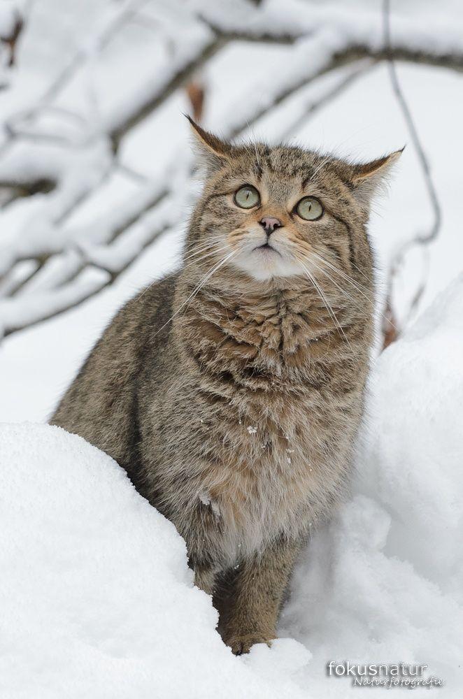 european wild cat Bild: Wildkatze im Winter - Galerie: Wildkatze - Fokusnatur Naturfotografie