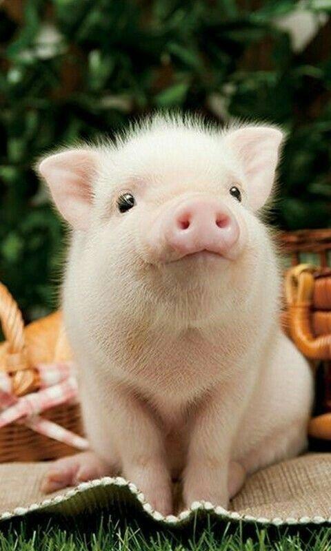 Cute piglet – Cute Animals #piggy #piglet