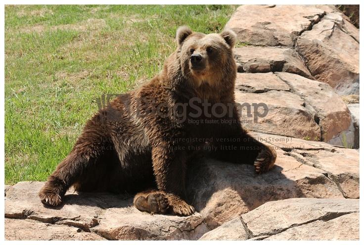 Kodiak Bear - Pretoria Zoo