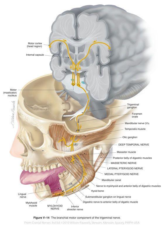 Trigeminal V - Cranial Nerves #MuscleAnatomy | Applied Sciences ...
