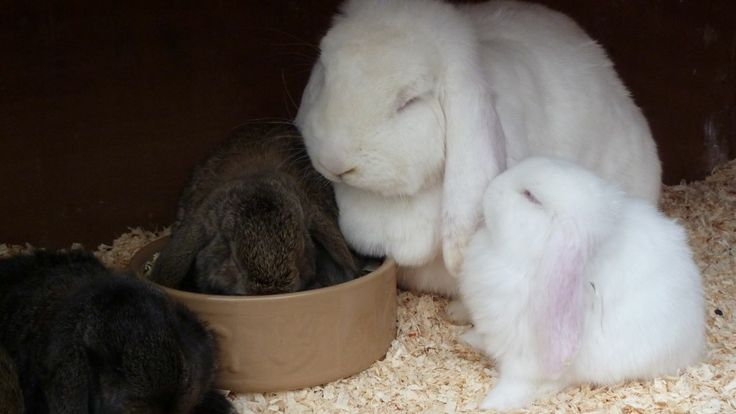 Giant French Lop Rabbits Giant French Lop Baby Rabbits