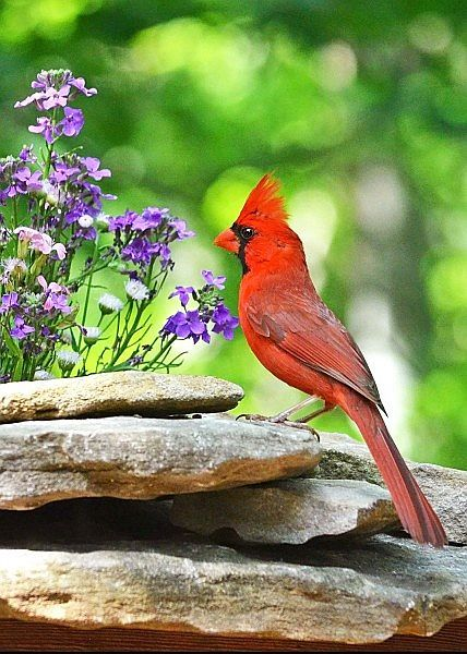 Cardinal. (This was always my Mother's favorite bird. Though, she used to get all excited about seeing the first Robin in Spring also.)