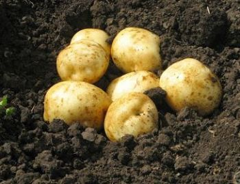ГМ-картофель не нарушает руководящих принципов ЕС http://www.agroxxi.ru/gazeta-zaschita-rastenii/novosti/gm-kartofel-ne-narushaet-rukovodjaschih-principov-es.html  Рассмотрение новых техник селекции было оценено как крупнейшее изменение в развитии ЕС, которое позволит выращивать гмо-картофель наряду с обычными разновидностями