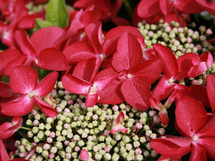 Tellerhortensie 'Kardinal' - Hydrangea macrophylla 'Kardinal'