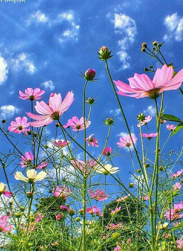 Der Kosmos blühte in deinen Blumenbeeten.