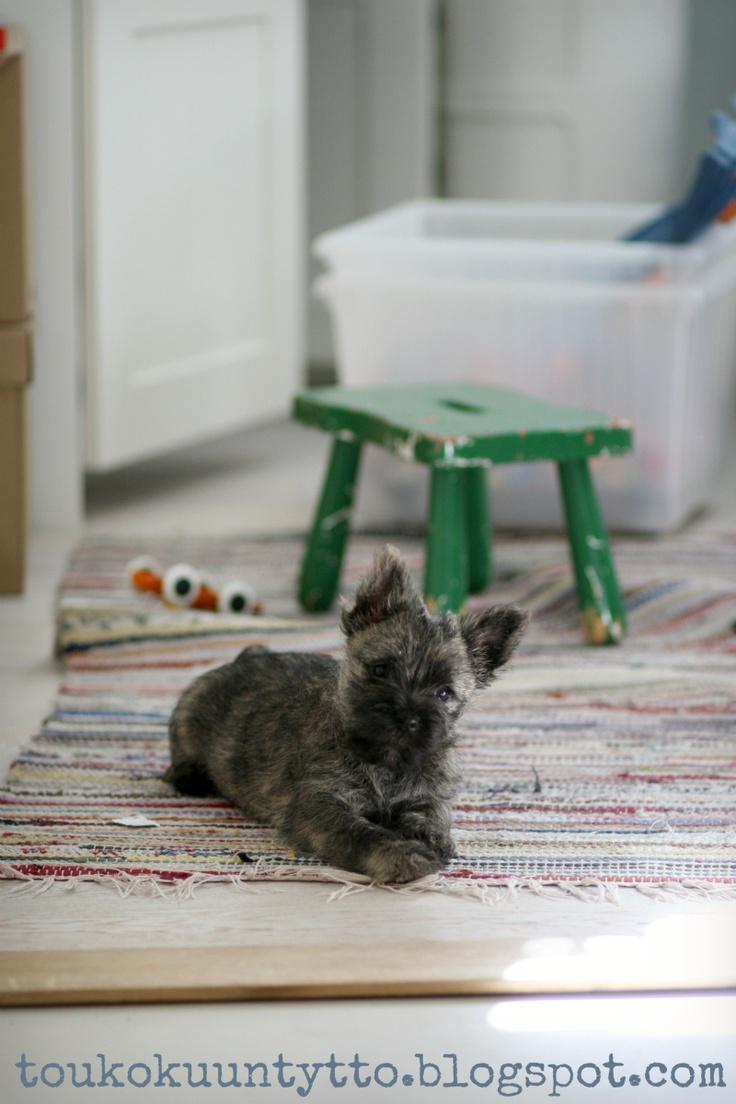 My cairn terrier puppy