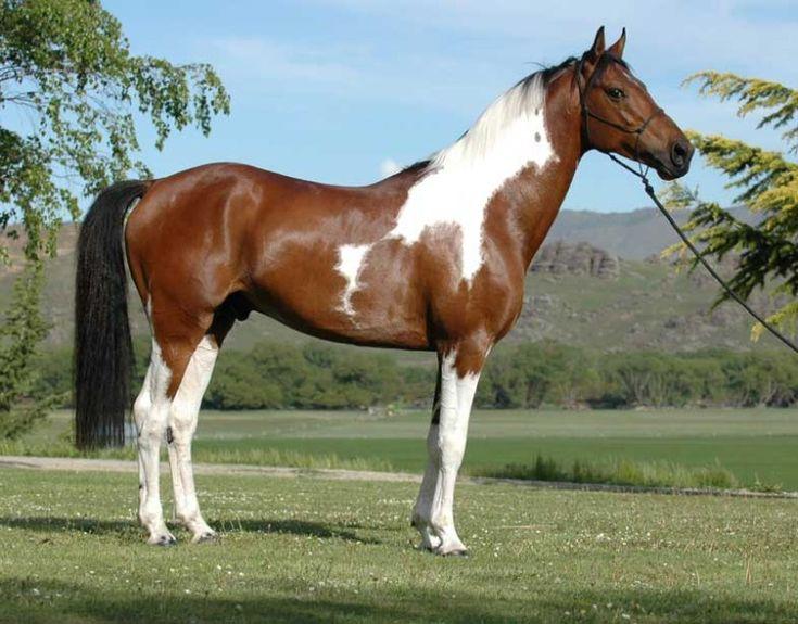 Tudo sobre Cavalos: Guia de raças de cavalos ( letra A)