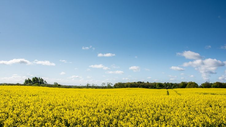 Rapeseed field in full bloom.