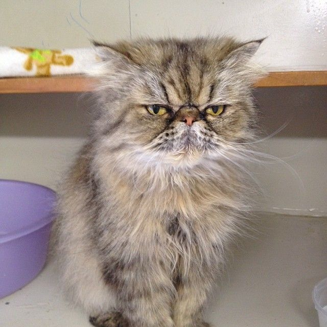 Coco, wants to know she's having her photo taken so early. #cat #catz_at_ashwood #persian #tabby