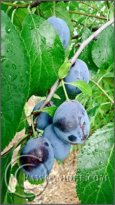 Italian prune plums are amazing. I love, love, love them. When ripe on the tree, they are thick and soft as honey and melt in your mouth. Nothing like the store-bought kind. Nothing like growing your own and harvesting them a few weeks each year in the fall.
