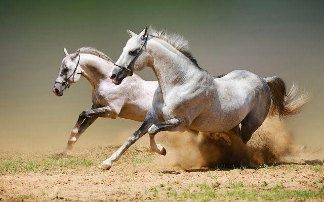 Weisse laufende pferde bilder