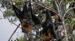 GROUP 1  Video: IN DEFENCE OF THE FLYING FOX