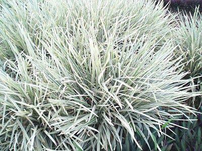Ophiopogon Jaburan Aztec Grass A Clump Forming