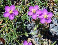 Sabline - La sabline (casse-pierre) est une plante médicinale utilisée dans la médecine populaire maghrébine, dont la réputation de dissoudre les calculs rénaux est d'une grande renommée. La sabline (spergularia rubra) est efficace dans le traitement des infections urinaires comme la cystite ou bien ... http://www.complements-alimentaires.co/wp-content/uploads/2014/12/sabline_spergularia_rubra.jpg - Par Nathalie sur Compléments alimentaires  #Lesplantesdelafamil