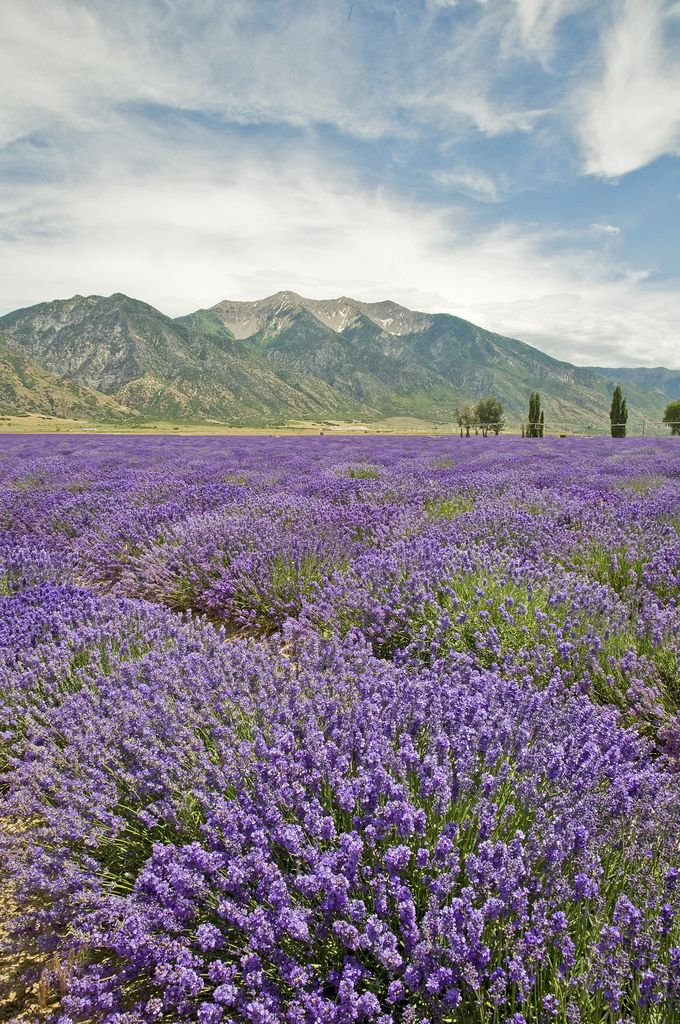 https://flic.kr/p/6DUBZ6 | Lavender Fields | Lavender fields at Young Living Lavender Farms in Mona, Utah with a backdrop of Mt. Nebo.