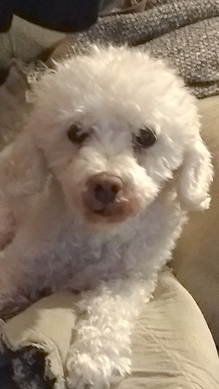 Poodle (Miniature) dog for Adoption in Longview, WA. ADN-712383 on PuppyFinder.com Gender: Female. Age: Senior