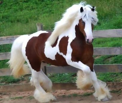 Clydesdale Horse                                                                                                                                                                                 More
