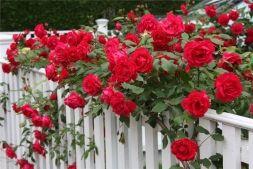 Вьющиеся розы - Садоводка