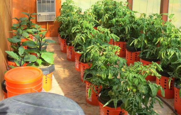 A Genius Way to Grow Peppers & Tomatoes in Buckets (Self-Watering) ~ 4 Weeks of Growth 2