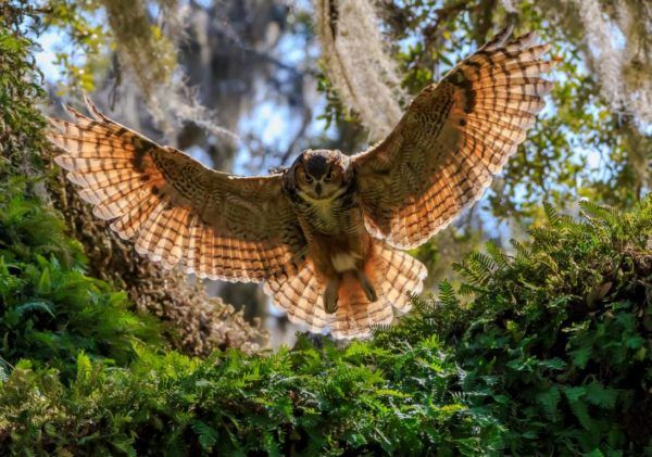 A female Great Horned Owl returns to her nest in Lecanto, Florida.  These are one of the few animals who will eat skunks! Photo by Robert Strickland.