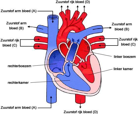 Voor een EHBO les over de vitale functies moet je weten hoe het hart in elkaar zit en werkt.