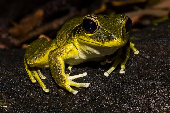 """""""Litoria wilcoxi - Stoney Creek Frog"""" by D Byrne 