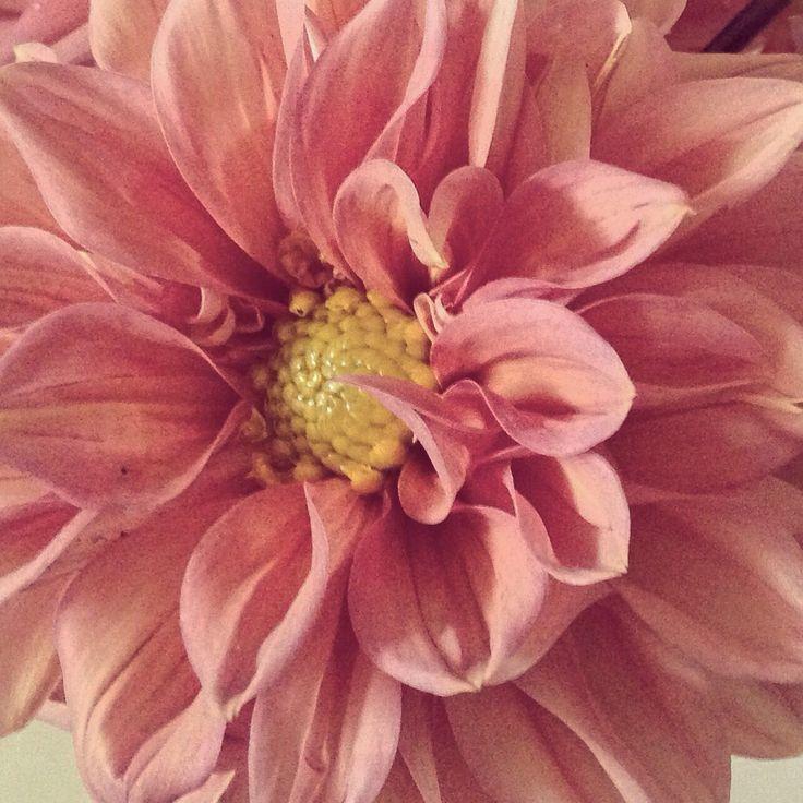 Dusky pink dahlia