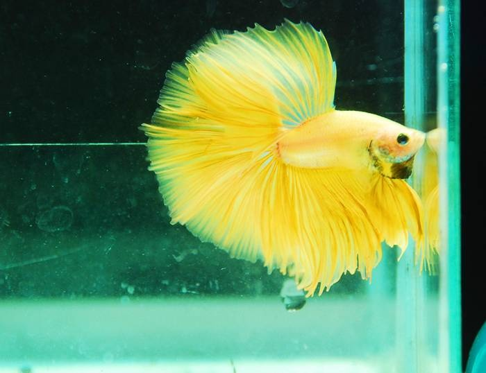 Yellow betta | aquarium fish freshwater | saltwater fish ...