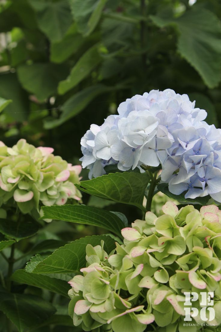 Hydrangea's By Pepo Botanic Design