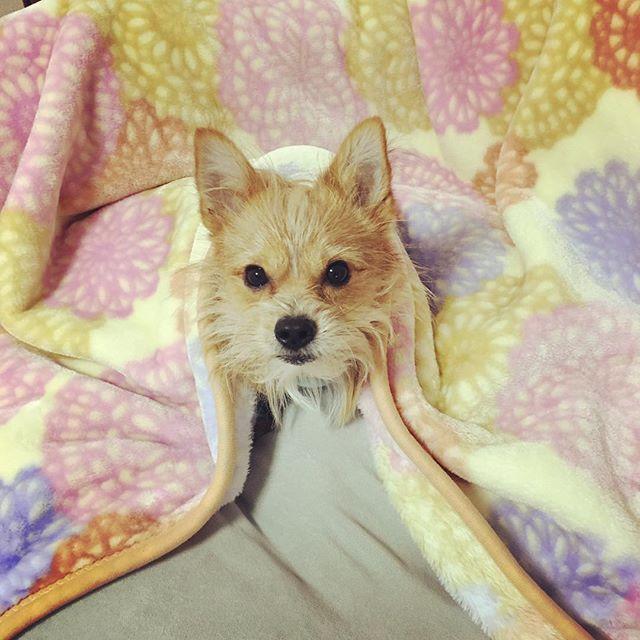 . . どうなってんだ?笑 .  #保護犬カフェ#出身#保護犬#ミックス犬#ミックス犬同好会 #ヨークシャーテリア#ポメラニアン#ミックス#なのかな#dog#犬#愛犬#テリアミックス#僕の名は#こっぺぱん#こっぺぱんまん#dog#dogstagram#ポメキー#寒がり犬