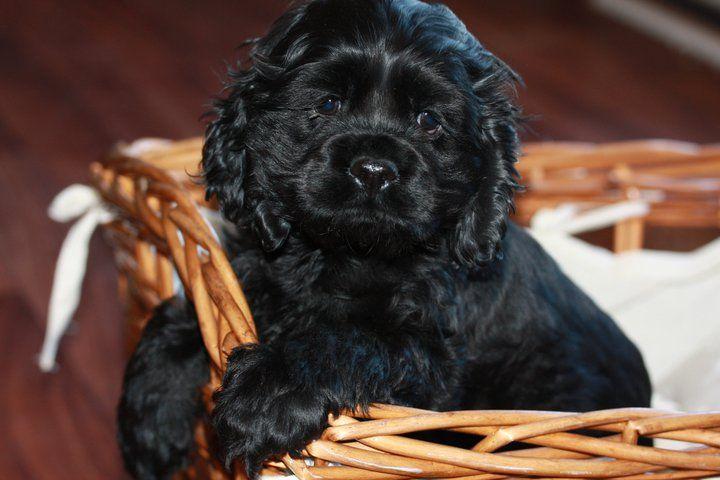 American Cocker Spaniel Pups: AKC COCKER SPANIEL Solid Black Female $650.00